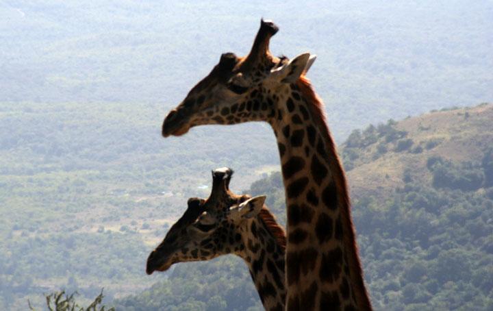 Zwei Giraffen am Mount Meru 4.610m - Tanzania